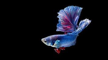 pesce siamese blu e rosso di combattimento isolato sul nero foto