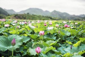 fiori di loto rosa su un lago, montagne sullo sfondo foto