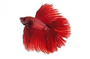 pesce di combattimento rosso di betta di mezzaluna