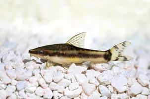 oto nano suckermouth otocinclus vittatus alghe mangiatore pesce gatto foto