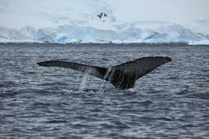 wale in der antarktis und arktis foto
