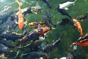 pesce koi foto