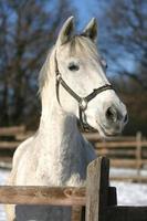 headshot di un bellissimo cavallo grigio in inverno soleggiato foto