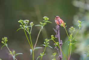 maschio ronzio ronzante. foto