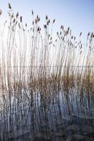 canne sulla riva del lago