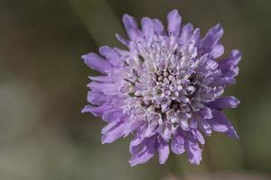 scabiosa viola (fiore puntaspilli) foto