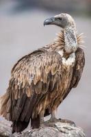 ritratto di un avvoltoio dorsobianco arroccato su rovesciato foto