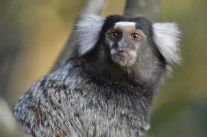 marmoset comune foto