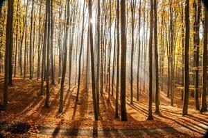 foresta di faggi