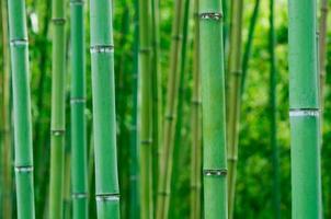 foresta di bamboo foto