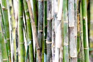 steli di bambù foto