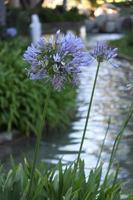 mazzi di fiori viola sugli steli foto
