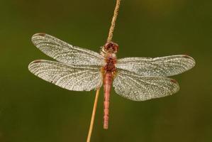 libellula coperta di rugiada sul gambo dell'erba foto