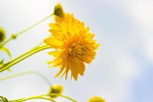 fiore giallo foto