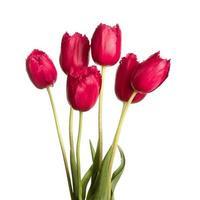 fiore di tulipano a figura intera su uno stelo foto