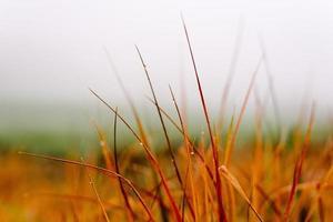 erba rossa coperta di acqua nebbiosa. foto
