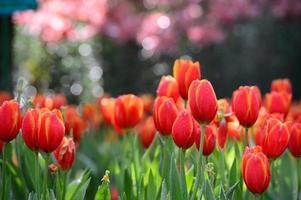 campo di tulipano rosso foto