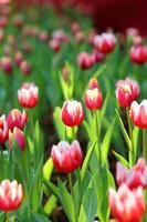 tulipano colorato sul fondo della natura foto