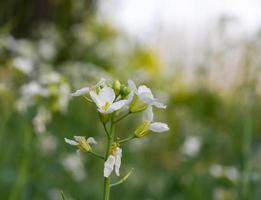 cavolo di fiori bianchi in giardino foto