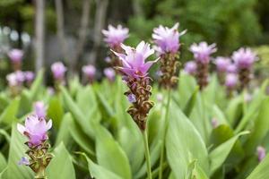 giardino floreale viola del tulipano del Siam foto