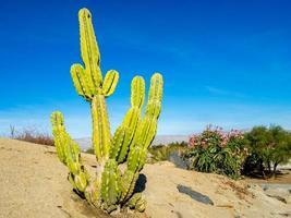 pianta di cactus dal nord america foto