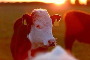 mandria di mucche sulla corsia del prato foto