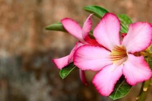 stretta di adenium fiore tropicale rosa su sfondo marrone. foto