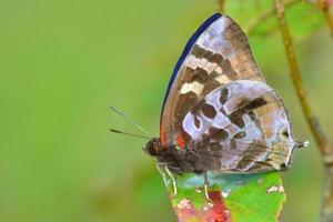 farfalla marrone
