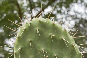 cactaceae, opuntia, fichi d'india frutti e cactus foto