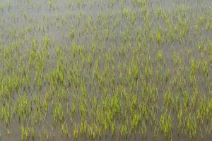 campo di grano in Tailandia