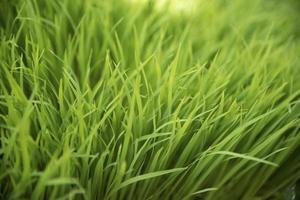 bella piantagione di riso astratta per lo sfondo foto