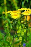 inula britannica ssp. linariaefolia, asteraceae, giappone, in via di estinzione ⅱ classe vu foto