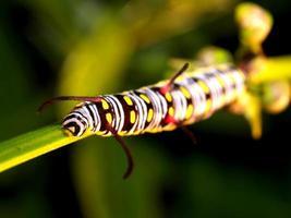 verme di bruco in natura foto