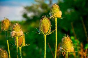 pianta verde spinoso campo viola
