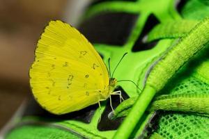 stretta di minuscola farfalla con ali gialle luminose foto