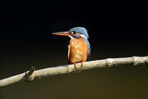 uccello blu del martin pescatore