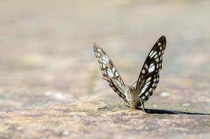 farfalla comune di jay foto