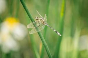 Odonata foto