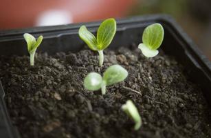 germogliare di un seme di zucca foto