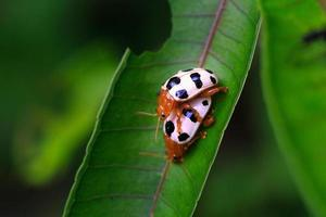 due stagioni riproduttive sullo scarabeo foglia verde foto