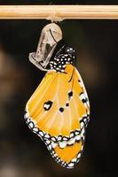 la semplice farfalla tigre foto