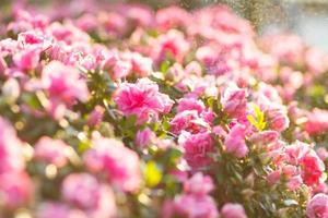 begonia rosa foto