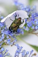 scarabeo di cervo su ortensia con cappuccio in pizzo
