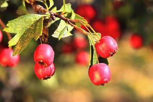 biancospino maturo in autunno foto