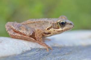 la rana comune