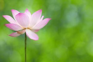 fioritura dei loti
