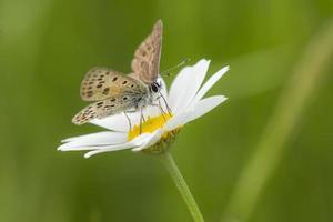 farfalla di rame fuligginosa su una margherita dei campi