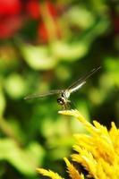libellula da vicino