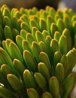 primo piano con i germogli floreali della pianta dell'agave foto