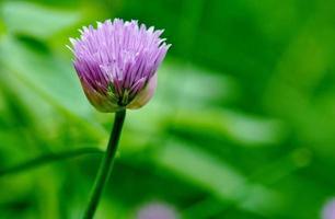erba cipollina in fiore foto